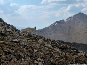 Mt goat hanging out on Mt Democrat.