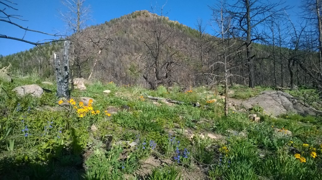 Afternoon training run among the wildflowers on Bear Peak. Not a bad place for some afternoon miles.