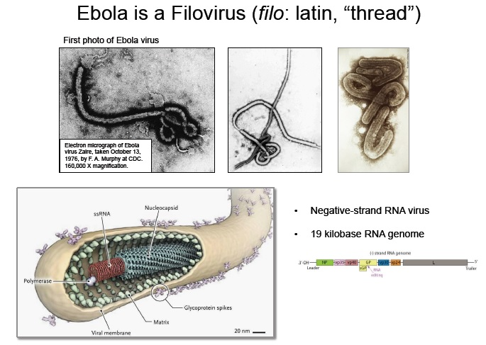 Images of Ebolavirus (top) with a schematic of its structure below.