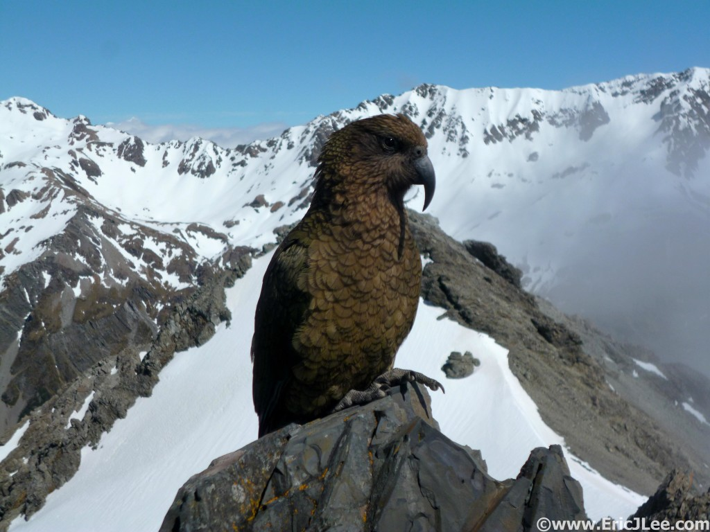 Infamous Kea bird on Avalanche Peak
