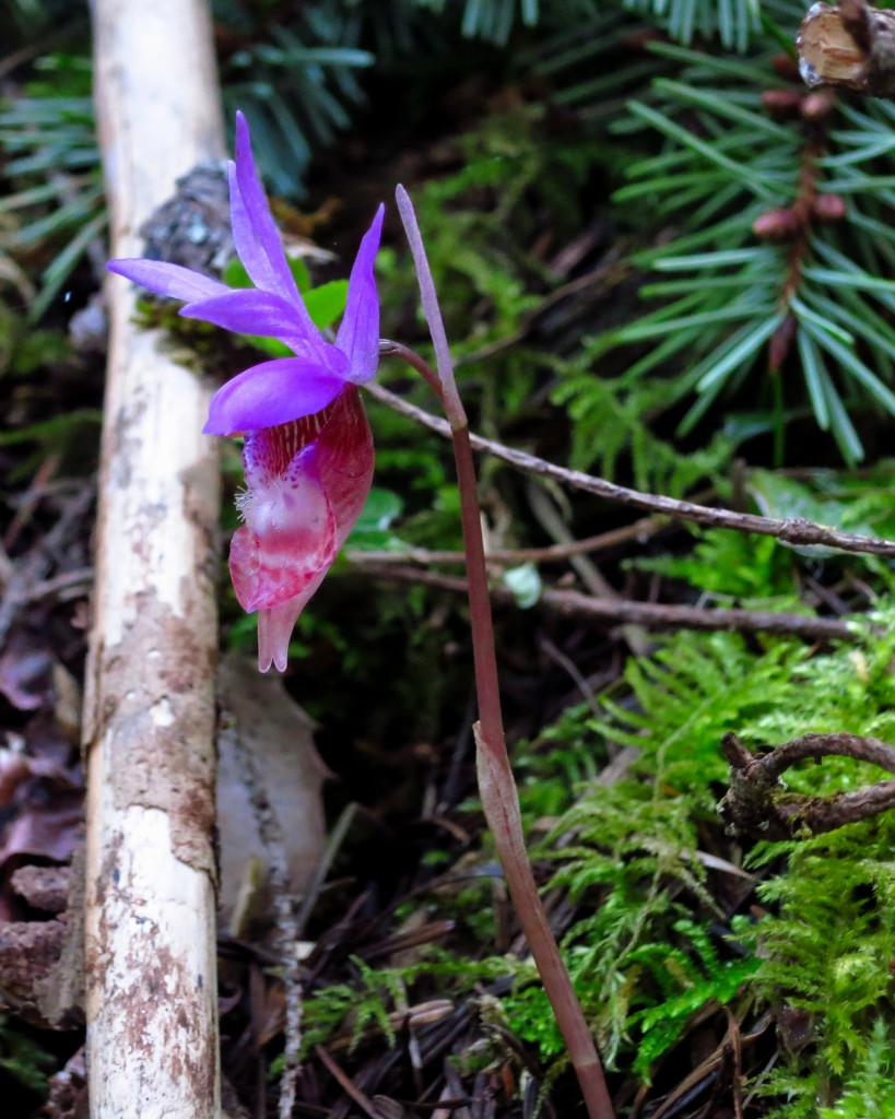 Calypso Orchids also known as Fairy Slippers dotted the entire course, 4/1/16.