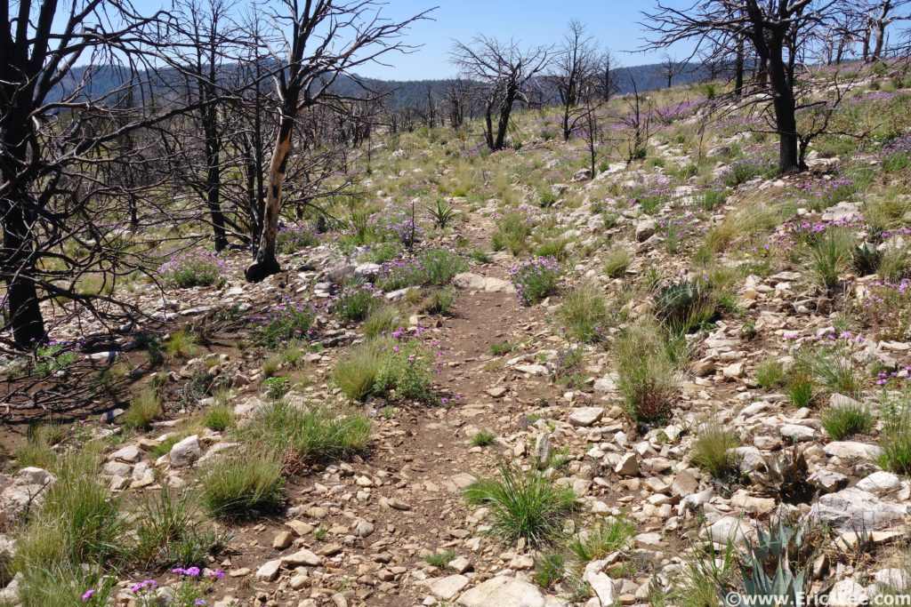 Wildflowers blooming in an old burn zone along the Tejas Trail.