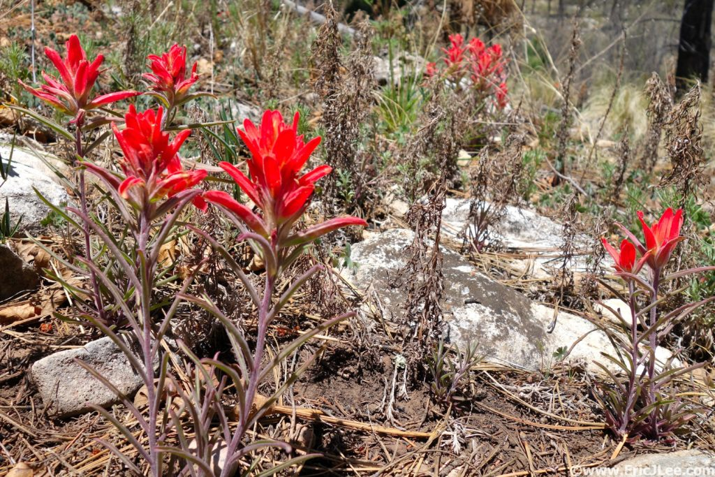 Indian Paintbrush blooming in the desert.